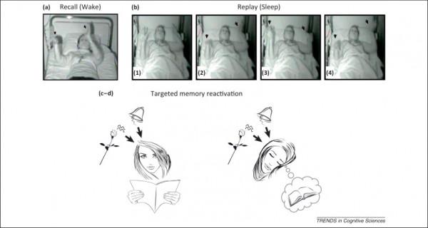 대상 기억 재활성화(TMR - Targeted Memory Reactivation)